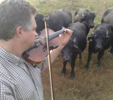 Veterinário controla búfalos ao som de um violino